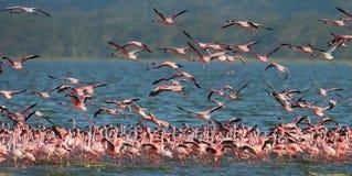 Огромное стадо фламинго принимая  Кения вышесказанного Национальный парк Nakuru Национальный заповедник Bogoria озера стоковое фото rf
