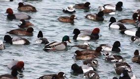 Огромное число зимы Ducks в подавая остервенении акции видеоматериалы