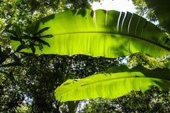 Огромное ib листьев освещает контржурным светом в peruan тропическом лесе стоковая фотография