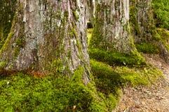Огромные деревья cryptomeria Стоковые Изображения