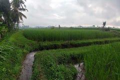 Огромные зеленые поля и террасы риса около джунглей Бали в регионе Ubud Идя пути, сезон дождей Канал воды стоковая фотография