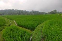 Огромные зеленые поля и террасы риса около джунглей Бали в регионе Ubud Идя пути, сезон дождей Джунгли на предпосылке стоковое фото rf