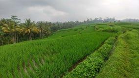 Огромные зеленые поля и террасы риса около джунглей Бали в регионе Ubud Идя пути, дождливый пасмурный сезон стоковая фотография