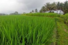 Огромные зеленые поля и террасы риса около джунглей Бали в регионе Ubud Идя пути, сезон дождей Рис выходит конец вверх стоковая фотография