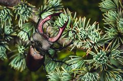 Огромные подъемы жука рогача над деревом стоковые фотографии rf