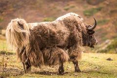 Огромные horned яки, Непал Стоковые Изображения RF