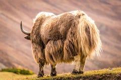 Огромные horned яки, Непал Стоковое фото RF