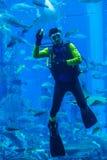 Огромный аквариум в Дубай. Рыбы водолаза подавая. Стоковое Фото