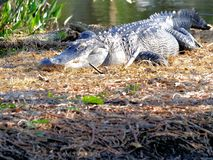 Огромный американский аллигатор в заболоченных местах Стоковое Изображение