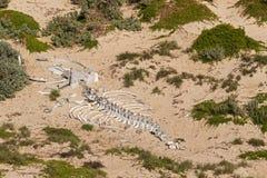 Огромный белый кит каркасные косточки на песке на уплотнении преследуют, кенгуру Стоковая Фотография