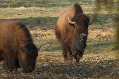 Огромный бизон идет через поле и ест ветви и траву сфотографированные в северной области России стоковое изображение