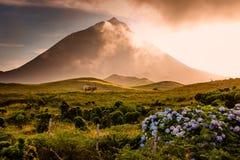 Огромный бык перед вулканом Pico-Азорскими островами Стоковое Изображение