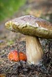 Огромный гриб Porcini и малое Amonita Muscaria стоковая фотография