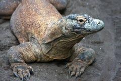 огромный монитор ящерицы Стоковое Изображение