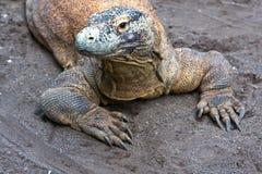 огромный монитор ящерицы Стоковые Фото