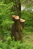 Огромный пень дерева в лесе Стоковые Изображения