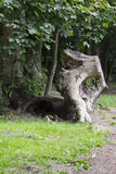 Огромный пень дерева сорванный от земли Стоковые Фото