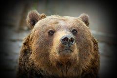 Огромный портрет медведя Стоковые Изображения