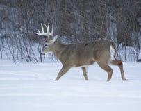 Огромный самец оленя 10 пунктов Стоковое Изображение RF