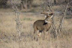 Огромный самец оленя Whitetail в колейности Стоковые Изображения
