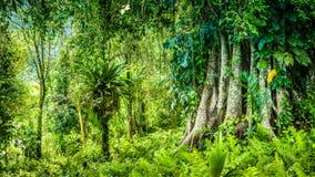 Огромный старый баньян покрытый лозами в джунглях Бали Стоковые Изображения RF
