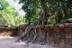 Огромный фикус растет на старой каменной стене Дерево разрушает старую каменную стену со своими корнями стоковое фото