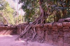 Огромный фикус растет на старой каменной стене Дерево разрушает старую каменную стену со своими корнями стоковые изображения