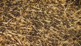 Огромный anthill с большим крупным планом муравьев стоковое изображение rf