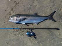 Огромный bluefish Стоковая Фотография RF