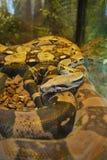 Огромный constrictor горжетки с лож красивыми расцветки завил за стеклом и не представляет никакую опасность Стоковое Фото
