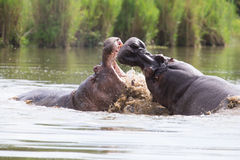 2 огромных мужских гиппопотама воюют в воде для самой лучшей территории Стоковая Фотография RF