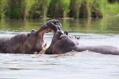 2 огромных мужских гиппопотама воюют в воде для самой лучшей территории Стоковое фото RF