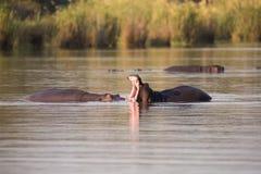 2 огромных мужских гиппопотама воюют в воде для самой лучшей территории Стоковые Фотографии RF