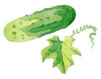 Огурец акварели зеленый большой Стоковое фото RF