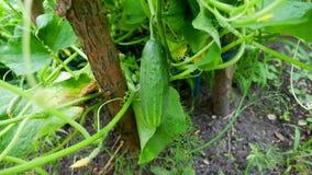 Огурец в саде стоковое изображение