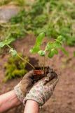 Огурец молодого ростка новый Подготавливать на сезон сада - засаживать огурцы Старшая женщина садовничая в задворк Стоковые Изображения