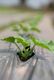 Огурец овощей Стоковые Фото
