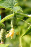 Огурец. Огород. Стоковые Фотографии RF
