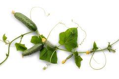 Огурец лозы с сочными плодоовощами Стоковая Фотография