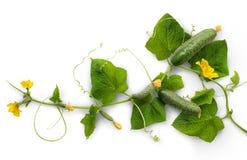 Огурец лозы с сочными плодоовощами стоковая фотография rf
