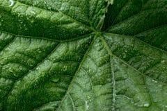 огурец падает вода листьев s Стоковое Изображение
