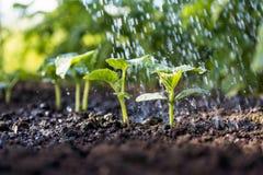 Огурец пускает ростии в поле и фермер мочит его Стоковое Изображение RF