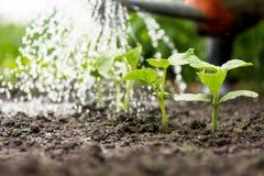 Огурец пускает ростии в поле и фермер мочит его Стоковое фото RF