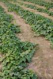 Огурец растя в поле Стоковое Фото