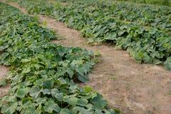 Огурец растя в поле Стоковые Фото