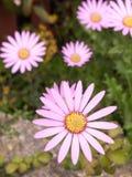 Оглушать конец вверх цветка весны с большим белым sti лепестков Стоковая Фотография