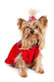 одежды выслеживают красный terrier yorkshire Стоковые Изображения RF