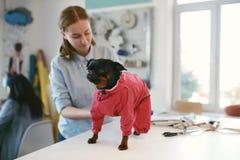 Одежды собаки Костюм женского портноя нося на любимчике стоковое изображение