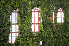 одетые стены плюща Стоковые Фото