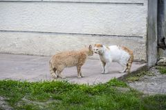 2 одина другого большой кошки улицы пугающих перед боем бело стоковая фотография rf